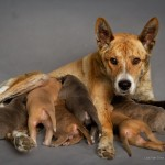 The Grace Foundation and Dr. Phil saved this Jindo and her puppies. Photo by Lisa Van Dyke, EDDOG