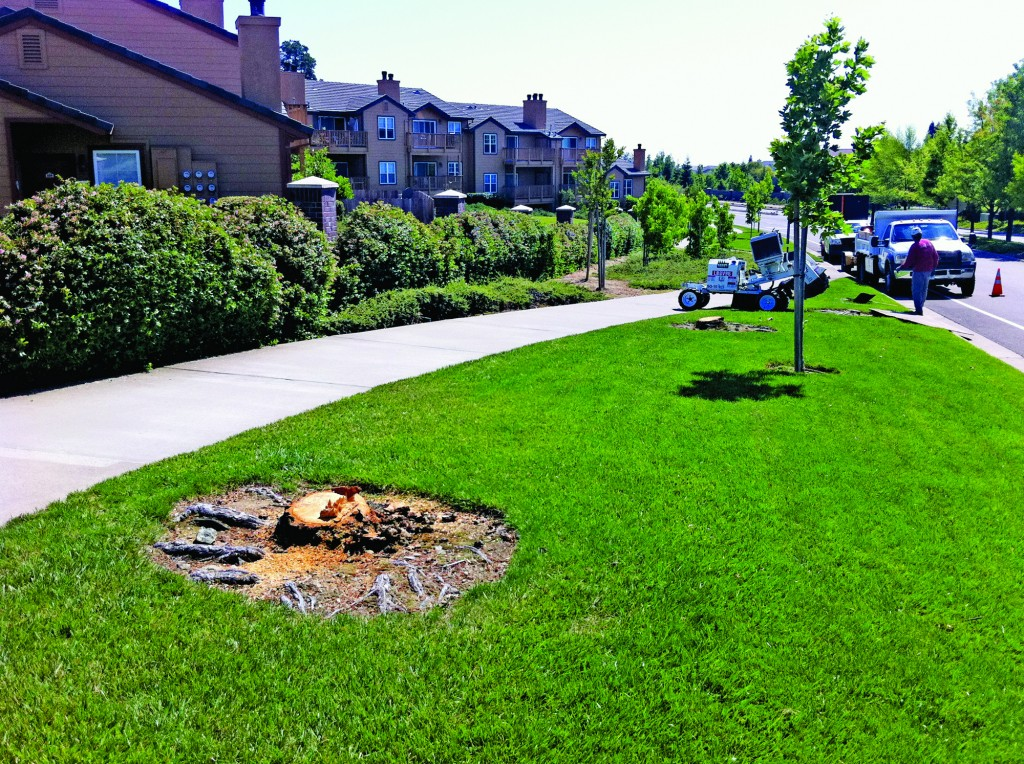 A stump is all that remains of a London Plane Sycamore in front of Lake Forest Apartments on Francisco Drive. A total of 40 sickly sycamores and Black Pines were removed, and will be replaced with more disease-resistant trees. Village Life photo by Mike Roberts