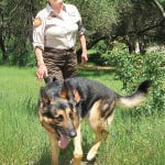 SEARCH AND RESCUE volunteer Noreen McClintock walks with her 6-year-old German Shepherd Cai at Wild Oaks Park in El Dorado HIlls.  Cai is a trained area wilderness, live find and cadaver search dog who along with McClintock participated in rescue efforts  following the mudslide in Darrington, Wash.  Village Life photo by Pat Dollins